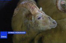 Islandijoje rastas vienaragis avinas