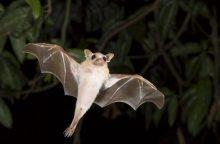 Dėl šikšnosparnių – klaipėdiečių nuostaba