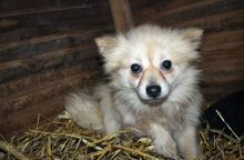 Įspėja neapsigauti: biznis – parvovirusu sergančiais šuniukais
