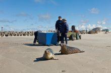 Į Baltijos jūrą paleisti du ruoniukai