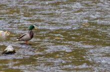 Be žinios dingęs jaunuolis rastas Nevėžio upėje