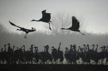 Pirmąjį spalio savaitgalį – tradicinės paukščių palydos