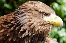 Nusikaltimas gamtai: Prienų rajone sunaikintas jūrinio erelio lizdas