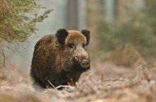 Šią savaitę kiaulių maras nustatytas 16 šernų