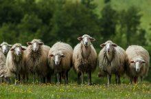 Rokiškio rajone per savaitę vilkai išpjovė devynias avis