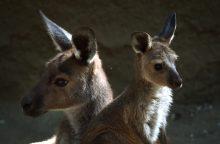 Kaune galima nusipirkti ir kengūrą
