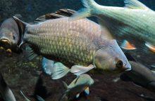 Ventos upėje dėl hidroelektrinės veiklos masiškai gaišta žuvys