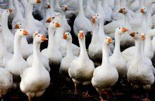 Kaune veikia naminių paukščių paroda