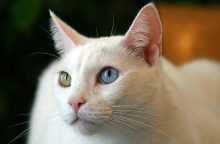 Kao manė: šią kačių veislę išvedė Tailando karalius