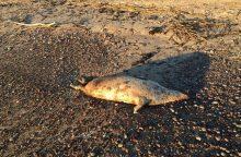Prie jūros kranto gulintys negyvi ruoniukai niekam nerūpi