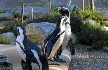 Jungtinėje Karalystėje į zoologijos sodą sugrįžo iš jo pavogti pingvinai
