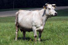 Šalia Palangos oro uosto keliu vaikštinėjo karvė