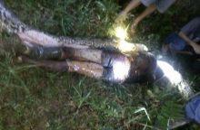 Sunku patikėti: pitono pilve rastas negyvas ūkininkas