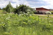 Sosnovskio barščių nešienaujantiems sklypų savininkams grūmojama baudomis